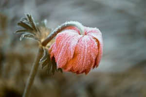 frost covered flower